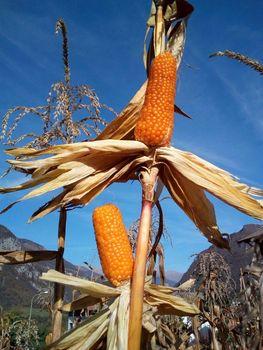 A Unimont protagonisti mais locali e cereali di montagna