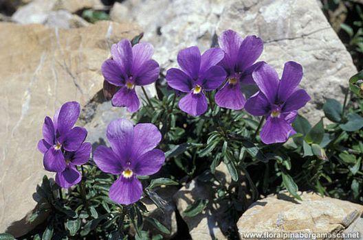 Gli splendidi fiori delle sorgenti del Brembo