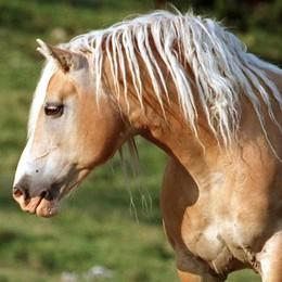 Traffico di cavalli e macellazione abusiva Il bergamasco Rossoni: ora si intervenga