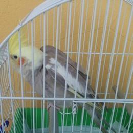 «È vostro questo pappagallo?» Ritrovato a Bergamo in zona stadio