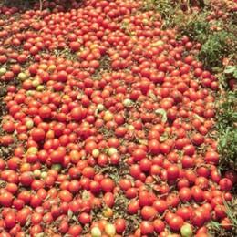 Da Coldiretti 1 tonnellata di pomodoro  per l'Amatriciana della solidarietà