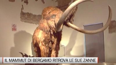 Il mammut del Museo Caffi ritrova le sue zanne