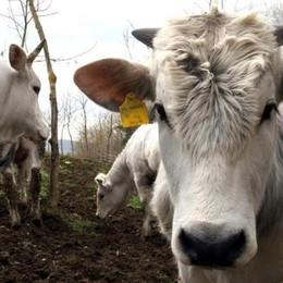 Per l'agricoltura un 2015 di incertezze A rischio 250 allevamenti bergamaschi