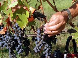 La raccolta dell'uva