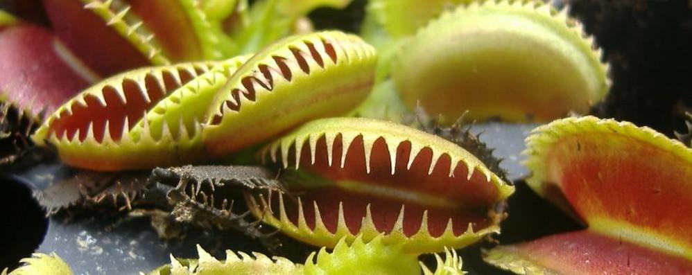 Le piante sanno contare solo fino a 2 la dionea lo fa per for Solo piante