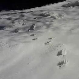 Val Brembana, l'orso è uscito dal letargo  Primo giretto a Valleve - Guarda il video