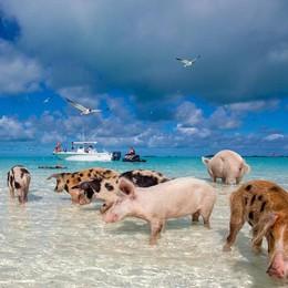 Bahamas, c'è Pig Beach E si nuota con i maiali