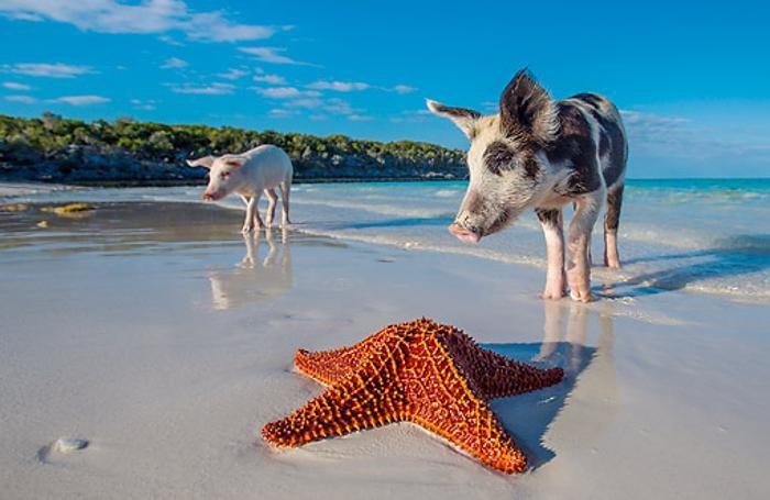 Pig Beach: la spiaggia delle Bahamas dove nuotano i maiali ...