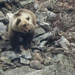 Valle dei Ratti, ecco l'orso «Che emozione fotografarlo»