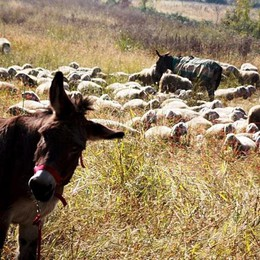 Le pecore e il mondo della pastorizia Una giornata  per saperne di più