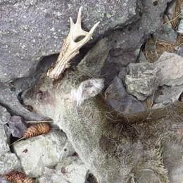 Allarme cani girovaghi in Val di Scalve «Sporcizia e sbranati diversi caprioli»