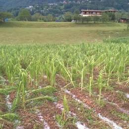 Nubifragio in Val Gandino Gravi danni al mais spinato