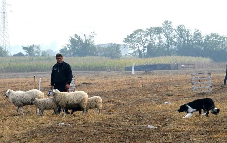 Open International Sheepdog Trial  A Cologno raduno dei cani pastore