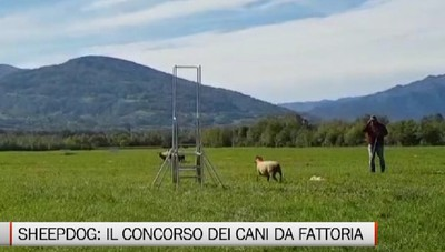 Cologno, Italian Oper di Sheep Dog