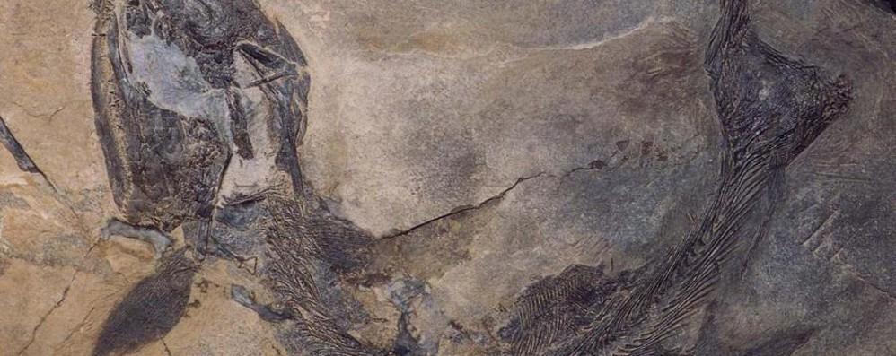 Dalla Cina a Bergamo per un fossile Ricercatore al Museo di Scienze Naturali