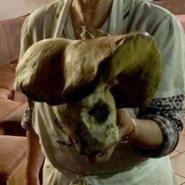 Pesa oltre 1 chilo e mezzo  A Gromo trovato super porcino
