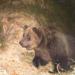 L'orso è tornato a Valleve Si chiama «M18» e ha sei anni