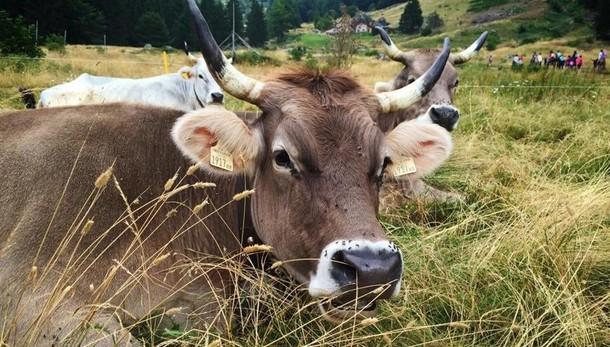 «La Bruna alpina era la nostra mucca» Da Lenna la sfida perché torni sulle Alpi