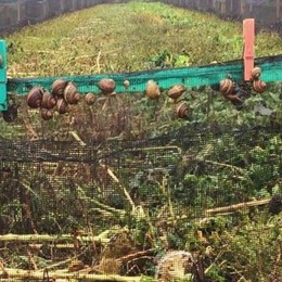 Musica in allevamento  A Morengo si sperimenta sulle lumache