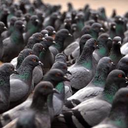 Niente cibo ai piccioni, attenzione coi cani Alzano Lombardo, raffica di divieti