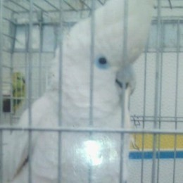«A Spinone ci hanno rubato Nelson» Appello per il pappagallo scomparso