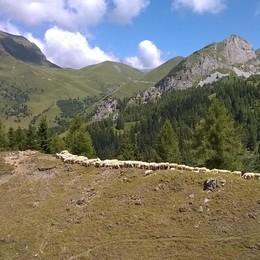 «Pecore impavide»