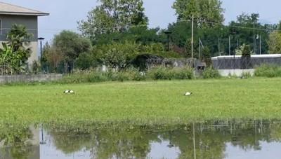 Gli ibis sacri a Levate
