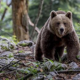 Abbattuta in Trentino l'orsa KJ2 «Era pericolosa». Scoppia la polemica