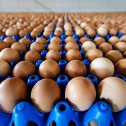 Controlli sulle uova   in Lombardia «Nessun pericolo di contaminazione»