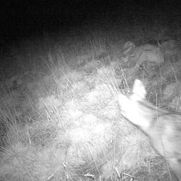 Il ritorno del lupo in Bergamasca Inviato il Dna negli Stati Uniti