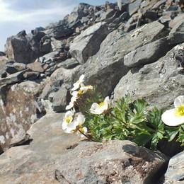 Il fiore che resiste a tutto - Foto Il ranuncolo bianco, re dell'alta quota