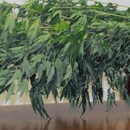 Dalmine, coltivazione di canapa nei vasi del parco di via Pesenti