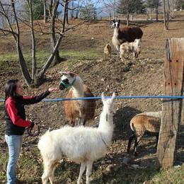 Microchip ai lama di Valsecca E ora sfilano alle fiere agricole