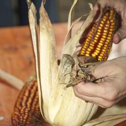 Il mais di Gandino:  un alimento globale