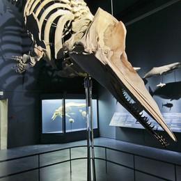 Al Museo Caffi c'è Moby Dick  In Città Alta uno  scheletro di 9 metri
