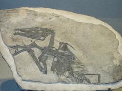 La copia in 3D di Eudimorphodon Ranzii