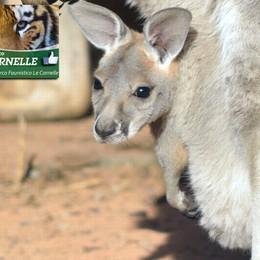 Nuovo fiocco azzurro alle Cornelle  È nato Sidney, canguro rosso