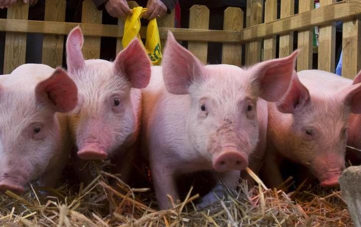 Porcellini a ruba, colpi a raffica  C'è una «banda del maiale»?