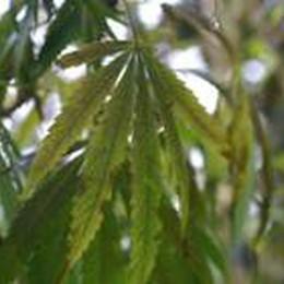 Liberalizzazione della cannabis:  I partiti sono divisi, anche la Lega