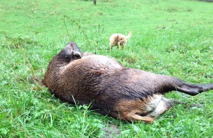 Il cervo decapitato a Lenna