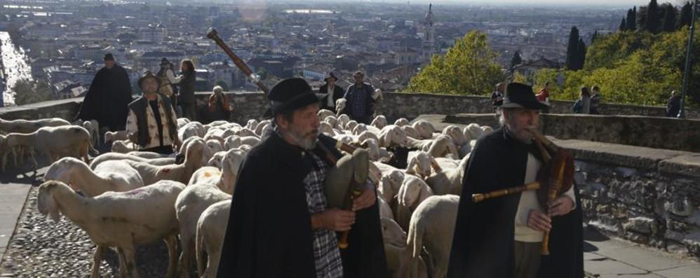 Bellissime immagini di altri tempi Pecore sulle Mura e ad Astino: i video