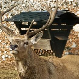 Soffocato da plastica ingoiata col cibo Così è morto il cervo a Piazzatorre