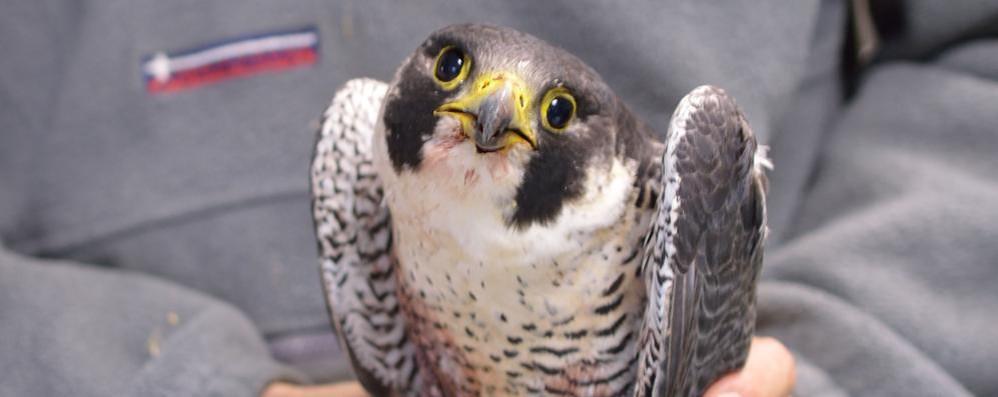 Vittima di spari per bene due volte  Colpito a morte il falco pellegrino