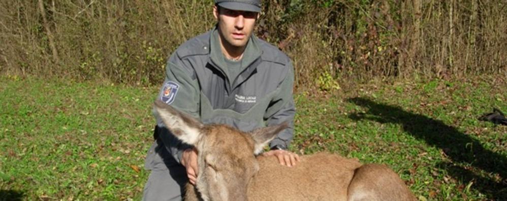 Cervo di 100 kg cade in un canale Addormentato e recuperato a Rovetta