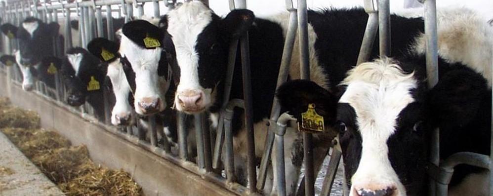 Prezzo del latte: le organizzazioni agricole rompono il tavolo della trattativa