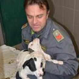 Traffico di cuccioli dalla Romania  Banda ko, un arresto a Caprino