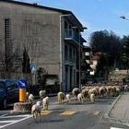 Pecore bergamasche nel Varesotto  E il traffico, sorpreso, va in tilt