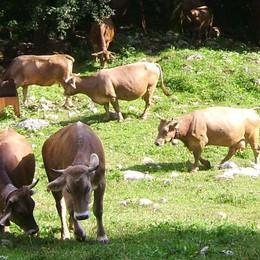 Vendita di mucche con minacce  Allevatore condannato: due anni