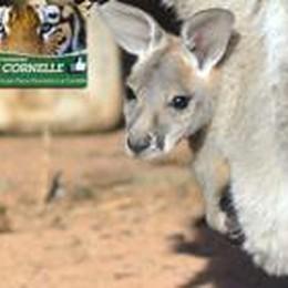 Alle Cornelle nati due canguri  Concorso su   Facebook per i  nomi