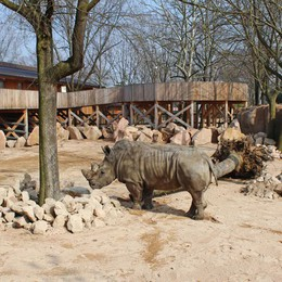 Freddy saluta le Cornelle  Il rinoceronte trasferito a Torino